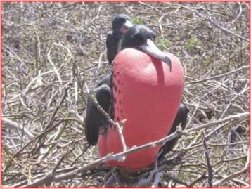 A Magnificent Frigate bird displaying his red throat pouch at the breeding grounds in North Seymour Island. Photo courtesy of Tonya Huff and Virginia White