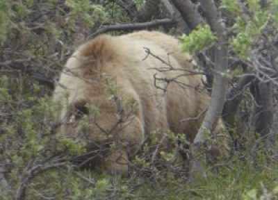 adult female grizzly bear