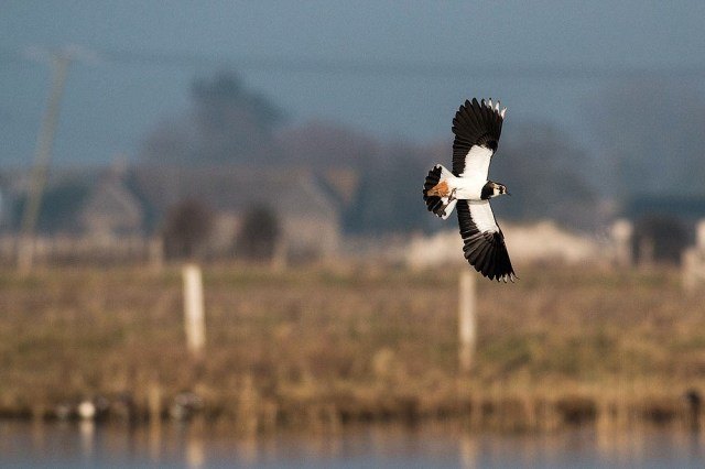 Lapwing in flight