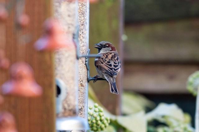 House Sparrow on feeder