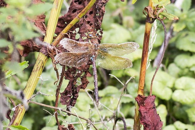 Brown Hawker (photographed with a long lens 400mm)