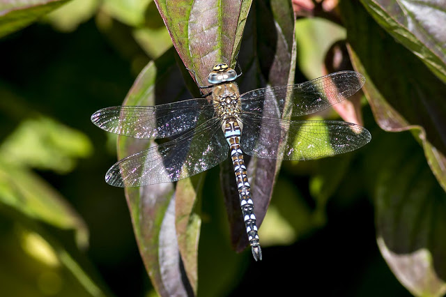 Migrant Hawker at rest
