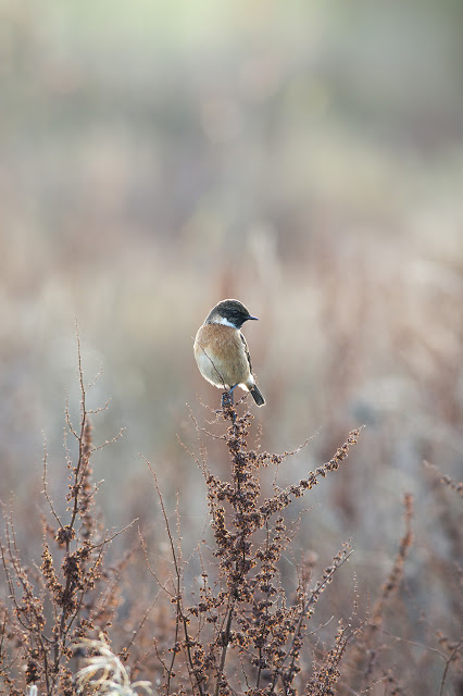 Male Stonechat at Manor Farm