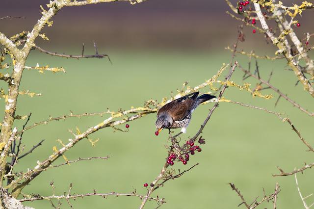 Fieldfare feeding on berries - River Ouse, Milton Keynes