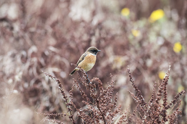 Male Stonechat (My favourite image of the year 2015)
