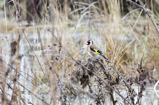 Goldfinch gathering seeds