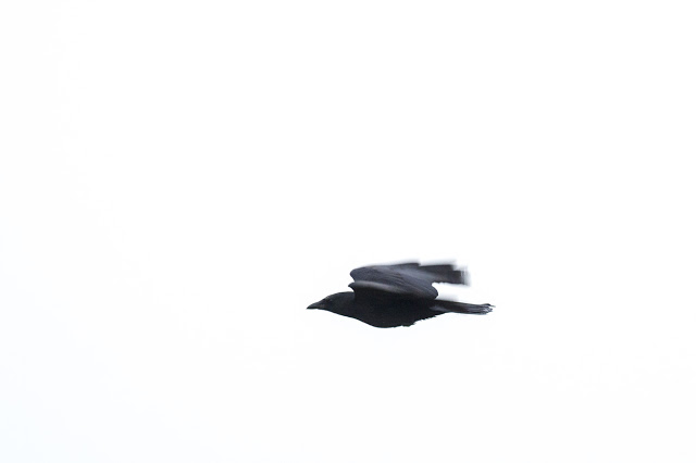 A Carrion Crow in Flight
