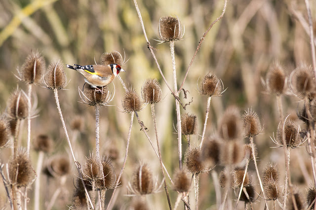 Goldfinch feeding on Teasels