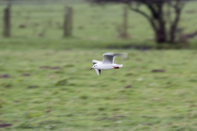 Black-headed gull in flight over fields near Deal