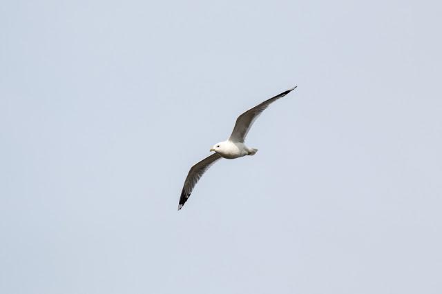 Common Gull in Flight