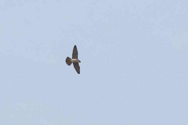 Peregrine Falcon in flight (very heavy crop)