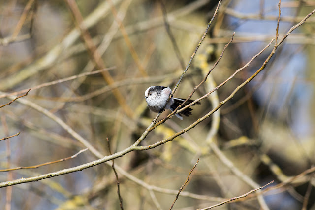 Set for Flight - Long-tailed Tit