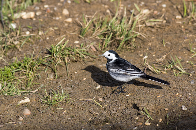 Pied Wagtail seen very close (too close to focus at times) from the hide window