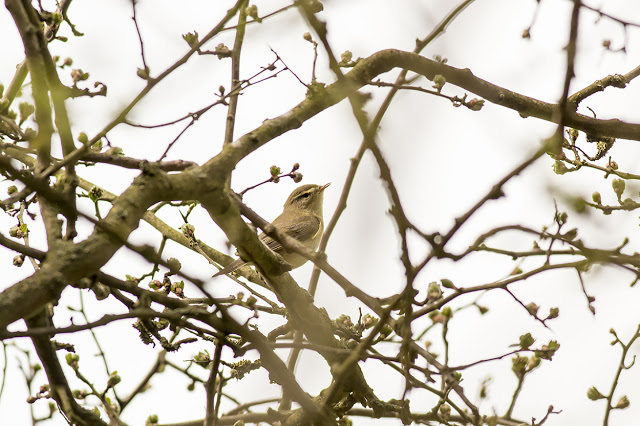 Willow Warbler high in the trees