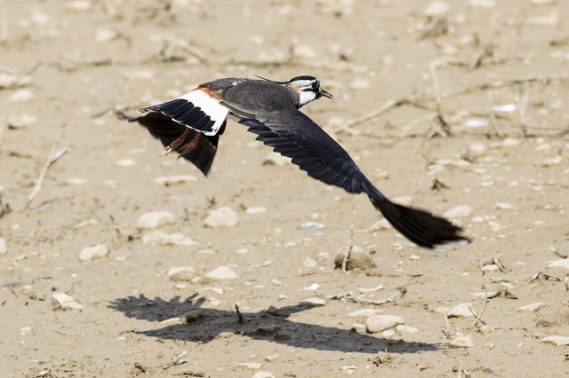 Lapwing coming in to land