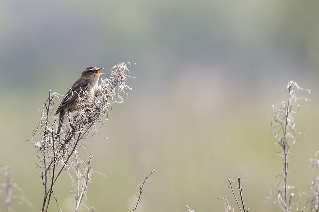 Rival Sedge Warbler in Full Song