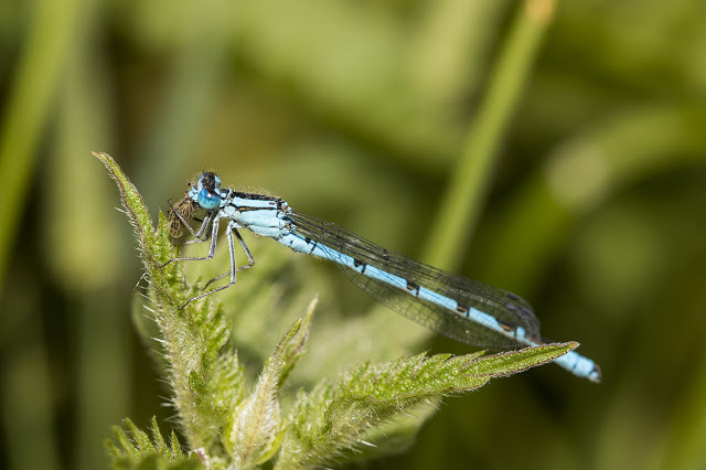 Common Blue Damselfly feasting