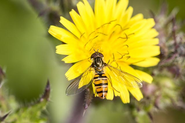 Episyrphus Balteatus (Marmalade Fly)