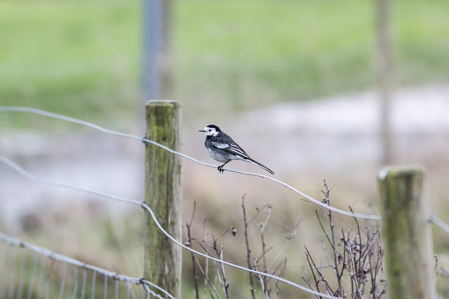 Pied Wagtail on the fence
