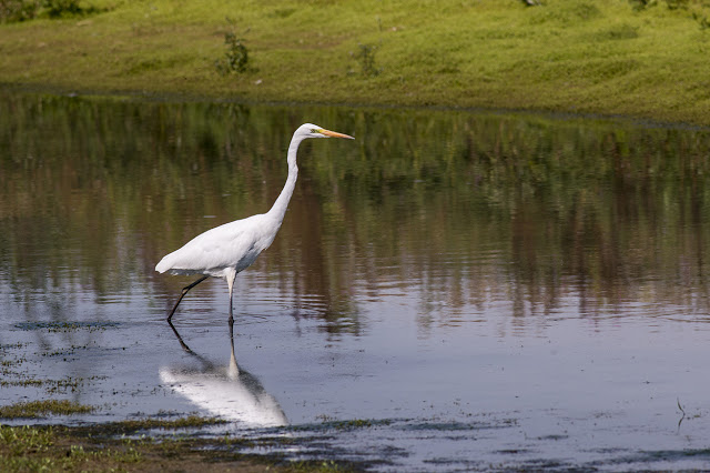 Great White Egret at Manor Farm