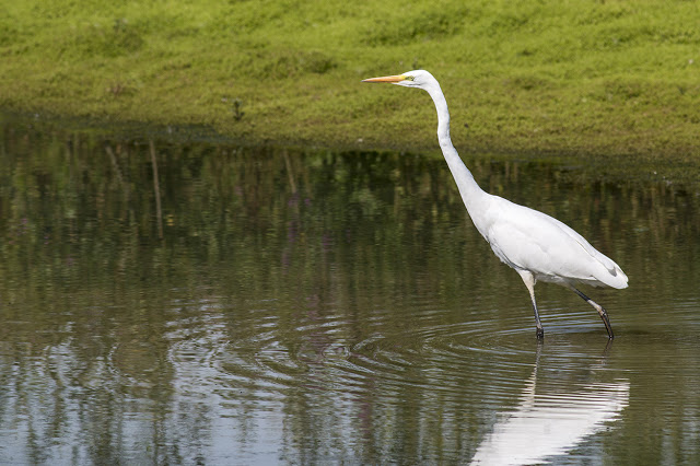 Herons in the Sun - Great White Egret