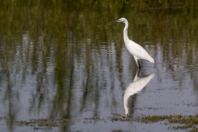 Little Egret (just to throw you!)