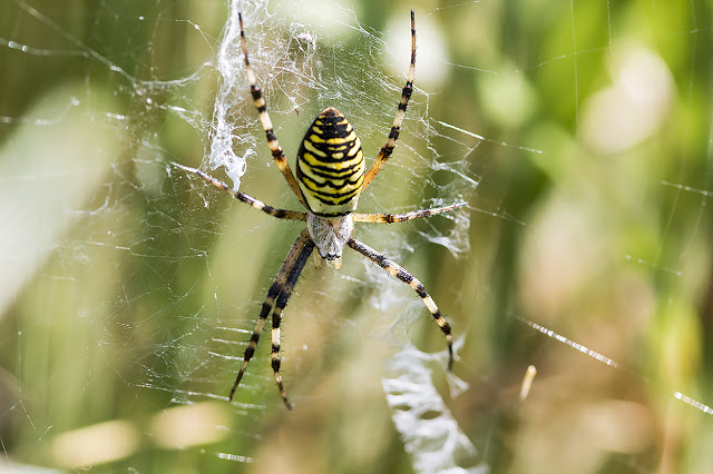 Wasp Spider (female) isn't she stunning?