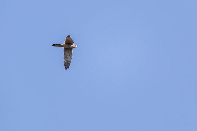 Flyby Kestrel