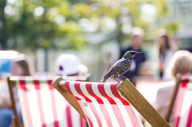Starling resting on a Deck Chair