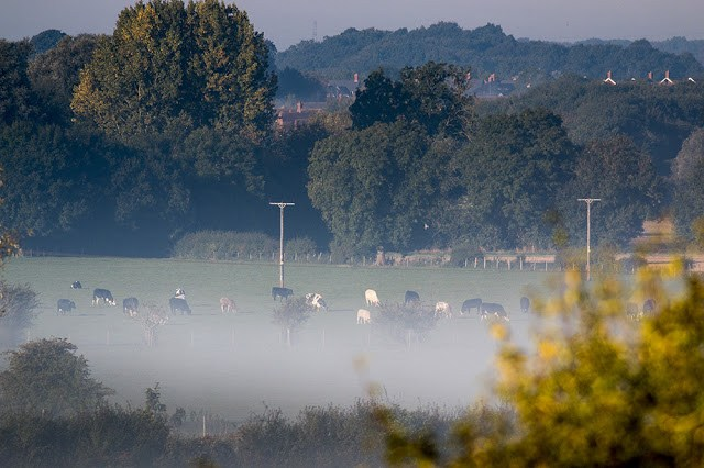 Cattle in the mist