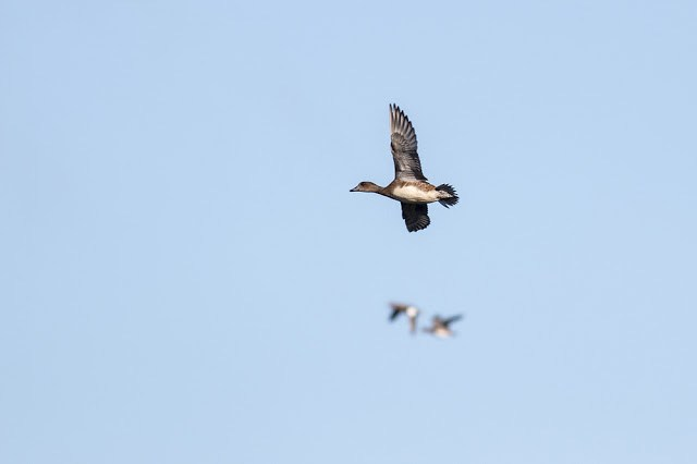 Wigeon in Flight
