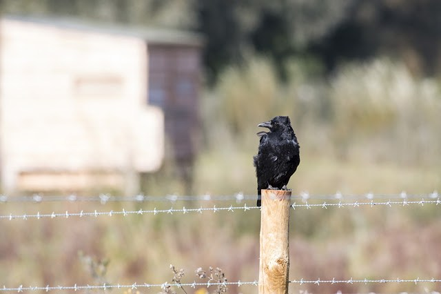Carrion Crow on Fence