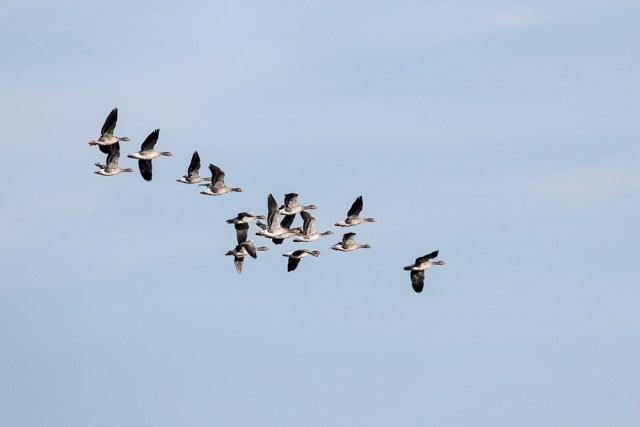 A Quiet Day - Greylag Geese in Flight