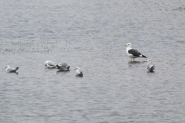 Lesser Black Backed Gull, Black Headed Gull and Common Gull