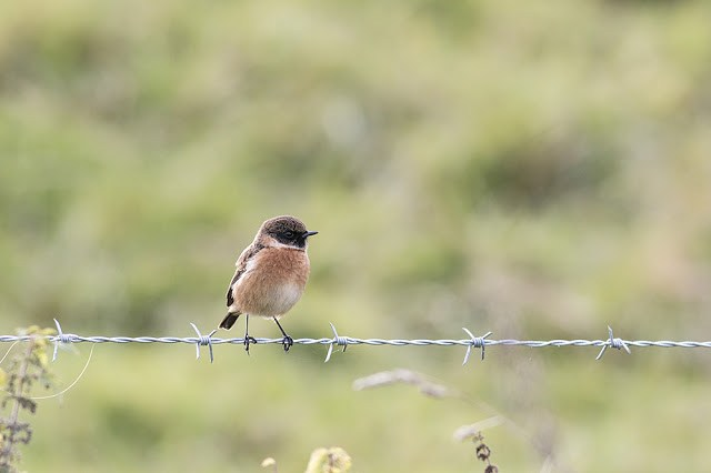Another of the Stonechats