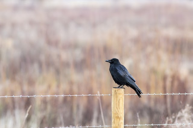 Carrion Crow on a post