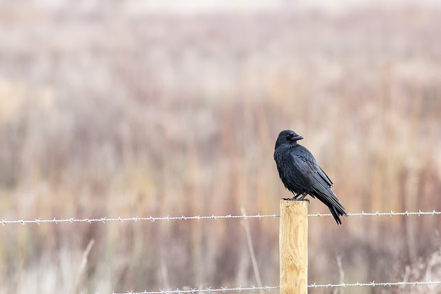 Week one of my 2500 Mile Challenge - Carrion crow on Fence