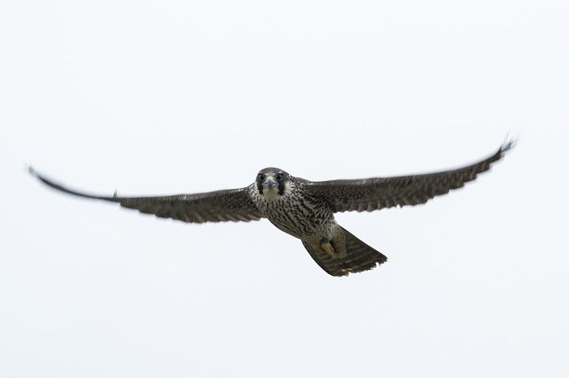 Peregrine Falcon (my favourite photo of the month and one that saw my name in local papers in Milton Keynes and Wiltshire)