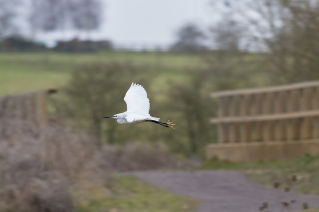 Little Egret in Flight - this is the bird that was just attacked by the Peregrine