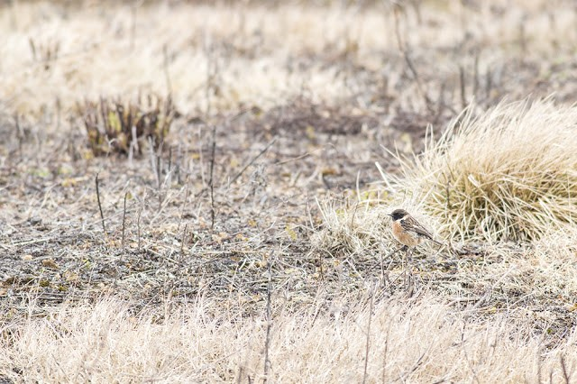Male Stonechat on the Ground