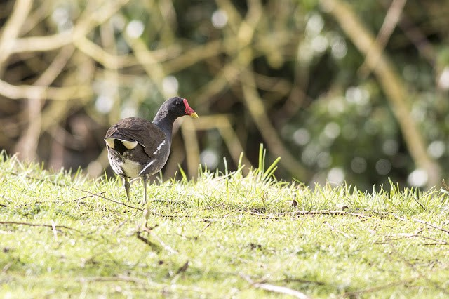 Moorhen in bright light
