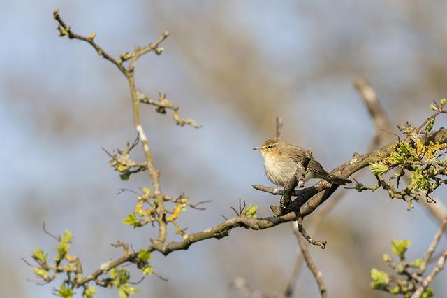 Spring Patch Walk - Chiffchaff in tree
