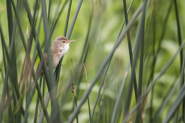 Reed Warbler running through his scratchy song