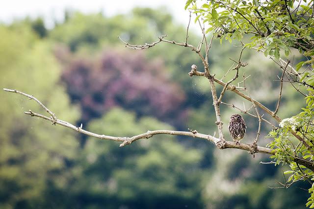 Little Owl in the Open