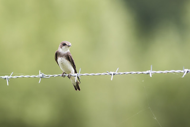 Sand Martin on barbed wire