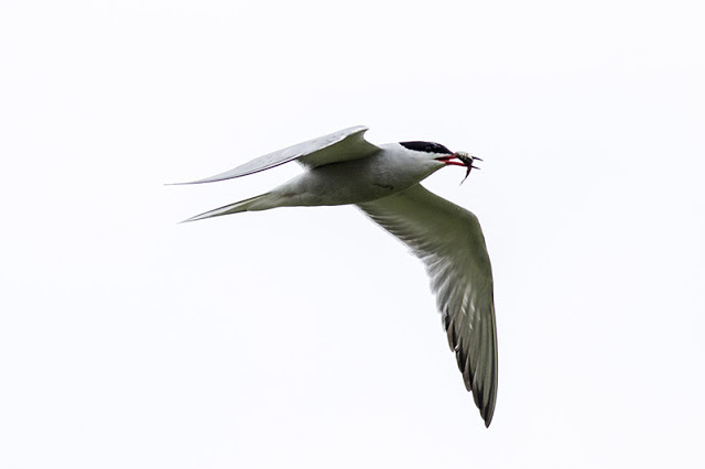 Fish carrying Common Tern