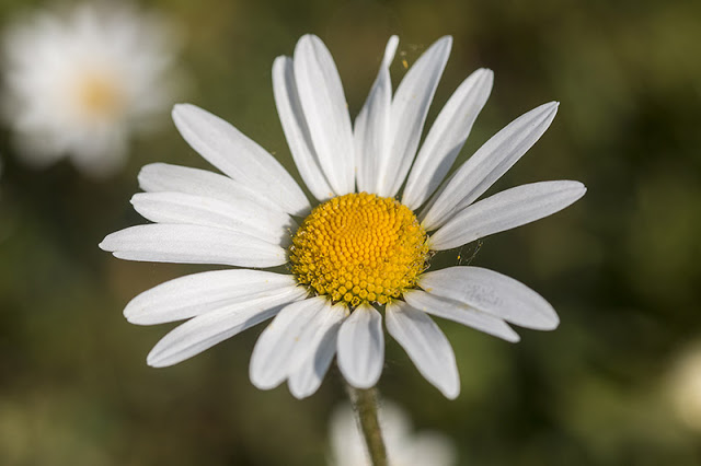 Large Daisy at Howe Park Wood
