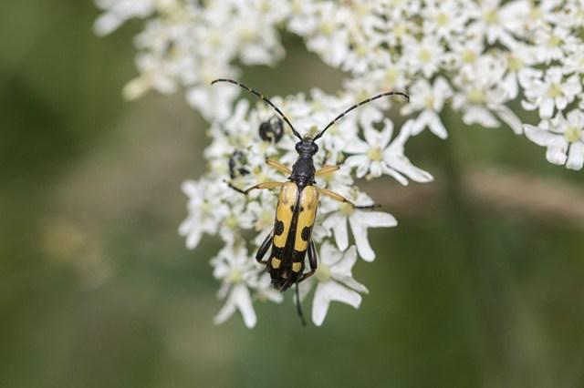 Yellow & Black Longhorn Beetle