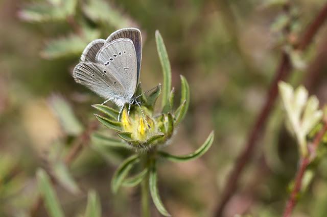 Small Blue Butterfly Underwing markings