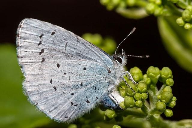 Holly Blue (Female laying eggs) - Great Holm (my Garden), Milton Keynes (2013)